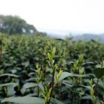 2021-shifeng-longjing-green-tea-1