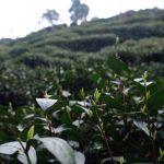 2021-shifeng-longjing-green-tea-4